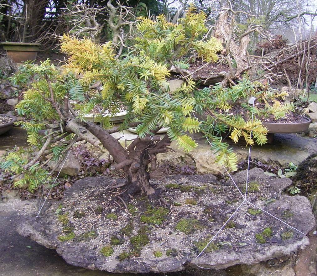 natureart bonsai homepage d popp auch sowas tun. Black Bedroom Furniture Sets. Home Design Ideas